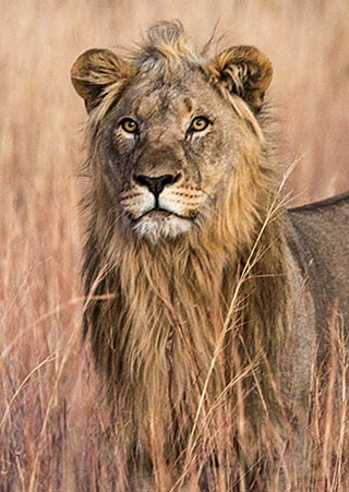 Portrait of a lion in Pilanesberg National Park in South Africa by Noella Ballenger.