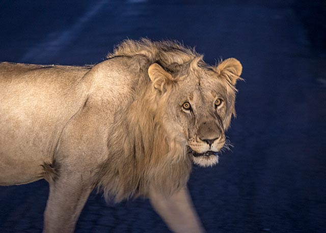 Night photo of a lion in Pilanesberg National Park in South Africa by Noella Ballenger.