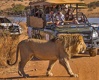 Safari vehicle filled with photographers taking a photo of a passing lion in Pilanesberg National Park in South Africa by Noella Ballenger.