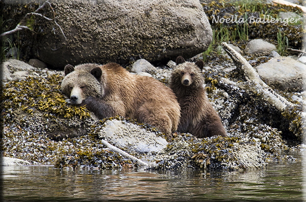 Photo of a sleeping Grizzly Bear and cub along the water's edge in Canada by Noella Ballenger.