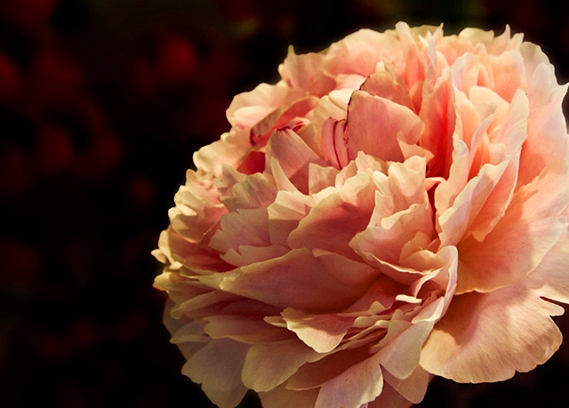 Image of a peach colored flower with an old-world artist feel by Noella Ballenger.