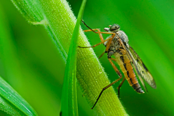 Photo of Robberfly using flash techniques by Edwin Brosens