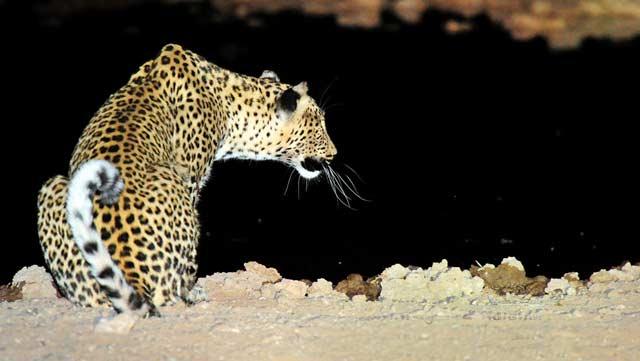 Leopard at Waterhole at night – Urikaruus Wilderness Camp, Kgalagadi by Mario Fazekas.