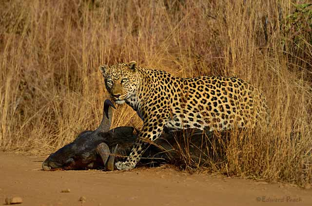 Photo of Leopard Coming Out of Bush with Wildebeest Kill – Pilanesberg by Edward Peach.