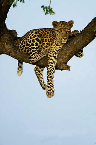 Photo of Leopard in Tree – Kruger National Park by Mario Fazekas.