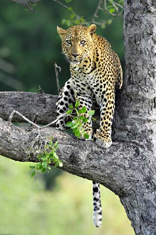 Photo of Leopard Sitting in a Tree – Kruger National Park by Mario Fazekas.