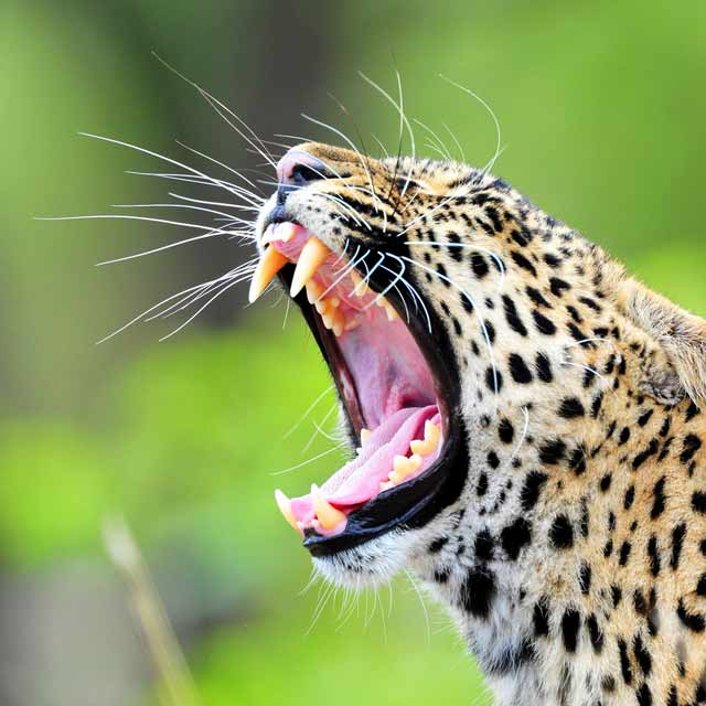 Photo of Leopard Yawn – Cheetah Plains Game Reserve, Sabi Sand, Greater Kruger Park by Mario Fazekas.