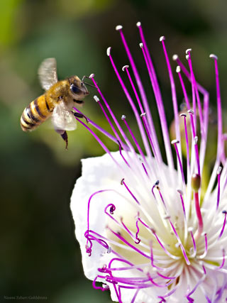 Macro photo of a bee hovering near a white and purple flower by Neomi Zehavi Goldshtein.