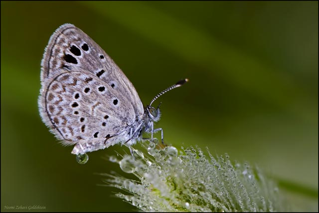Macro photo of a Lycaenid Butterfly sitting on plant with early morning dew drops by Neomi Zehavi Goldshtein.