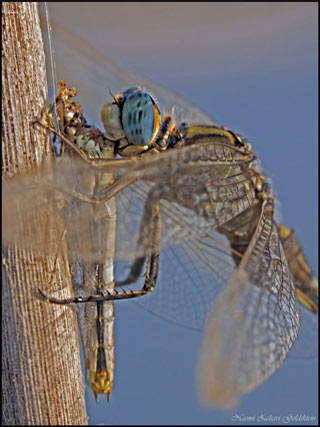 Macro photo of a dragonfly cannibalizing another dragonfly by Neomi Zehavi Goldshtein.