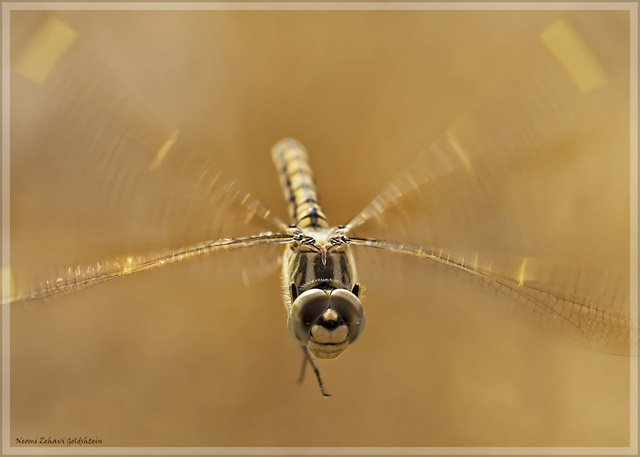 Macro photo of a brown, beige and gold dragonfly flying directly towards the camera by Neomi Zehavi Goldshtein.