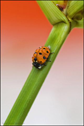 Macro photo of a Ladybug covered in dew drops by Neomi Zehavi Goldshtein.