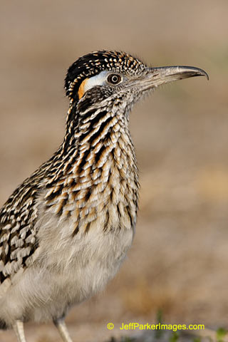 South Texas Wildlife: Portrait of a Greater Roadrunner by Jeff Parker.