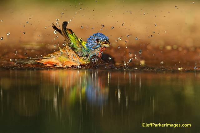 South Texas Wildlife: The rainbow colored Painted Bunting bathing at water's edge by Jeff Parker.