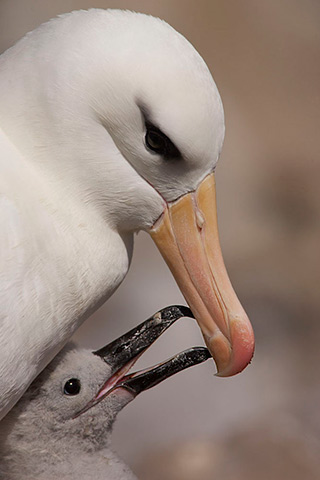 Close-up image of a Black-browed Albatross with her chick by Andy Long.