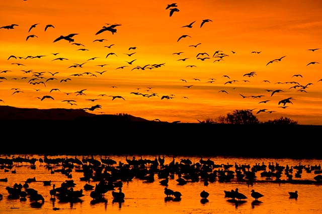 Image of geese taking flight off a lake at sunrise at Bosque del Apache National Wildlife Refuge, New Mexico by Andy Long.