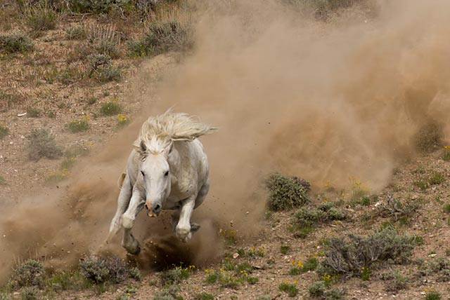 Photo of a white wild horse charging down a hill at Sand Wash Basin in Colorado by Andy Long.