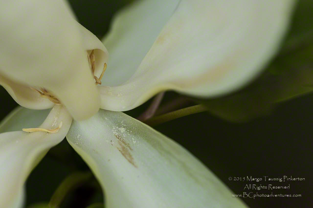 A blurred background makes the center of a white flower pop in the Blue Ridge Mountains by Margo Taussig Pinkerton.