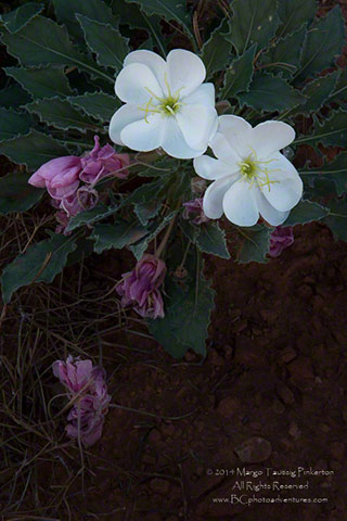 Full focus image of white and purple flowers in Utah by Margo Taussig Pinkerton.