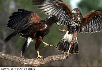 Fighting Harris Hawks