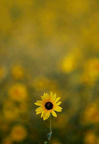Sunflower photo in field by Andy Long