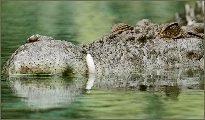 HDR photo of Maximo, captive salt water crocodile, by Jim Austin