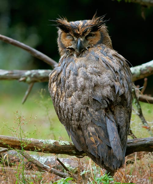HDR photo of Horned Owl by Jim Austin.