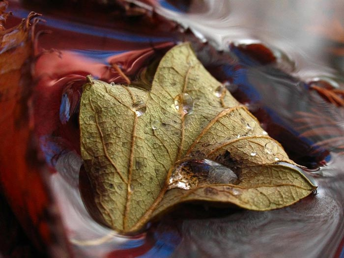 Close-up photo of fall leaf in water by Juergen Roth.