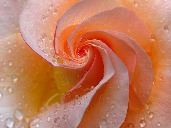 Close-up photo of peach colored Rose with rain drops by Juergen Roth