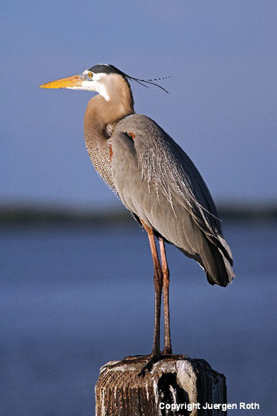 Image of a Great Blue Heron by Juergen Roth.