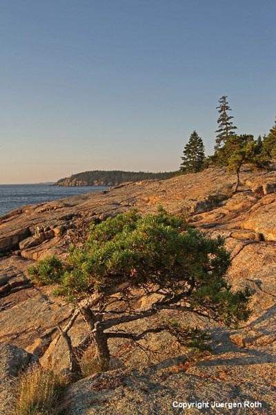 Image of an evergreen tree in the rocks along the coast by Juergen Roth.