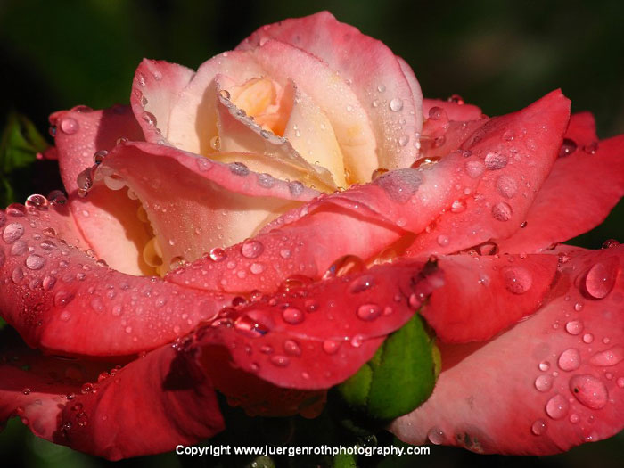 Close-up image of rain drops on a red rose by Juergen Roth.