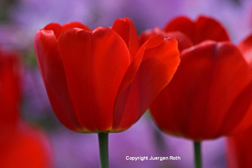 Close-up image of red Tulips by Juergen Roth.