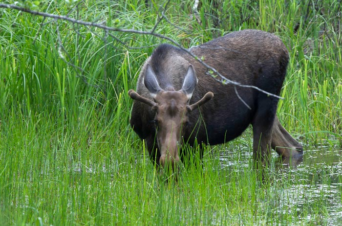 Photo of a moose cow in water and grass by Michael Leggero