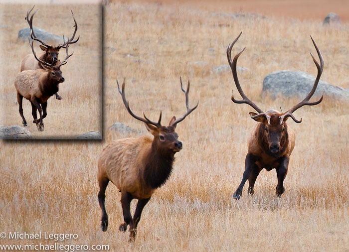 Photos of bull elk in autumn at Rocky Mountain National Park by Michael Leggero