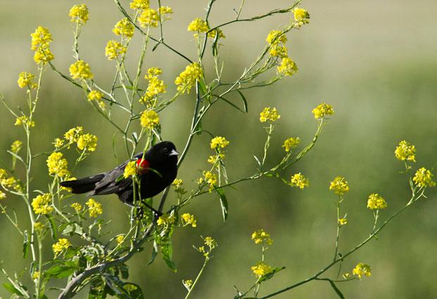 Photo of Red-winged blackbird in Sacramento National Wildlife Refuge, California by Noella Ballenger