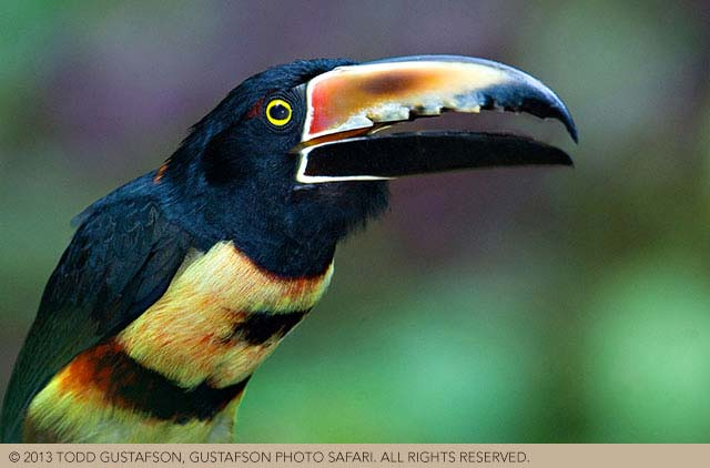 Tips for photographing nature in Costa Rica: portrait of colorful Collared Aracari image by Todd Gustafson.