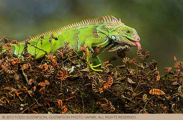 Costa Rica reptiles: colorful Green Iguana with tongue out by Todd Gustafson.