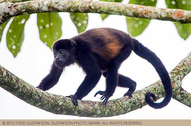 Costa Rica wildlife: brown Howler Monkey walked on a tree limb by Todd Gustafson.