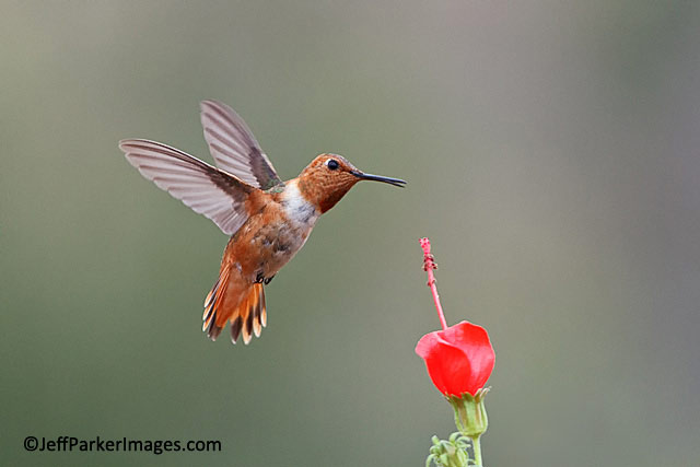 Hummingbird photography. Close-up, stop-action photo of a Rufous Hummingbird by Jeff Parker.