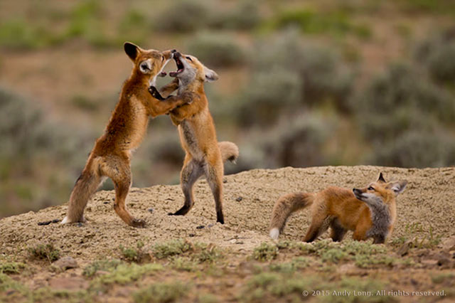 Image of two red fox playing as a third looks on by Andy Long.