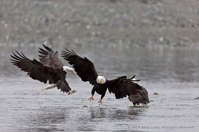 Image of two Bald Eages dropping onto the water to catch the same fish by Andy Long.