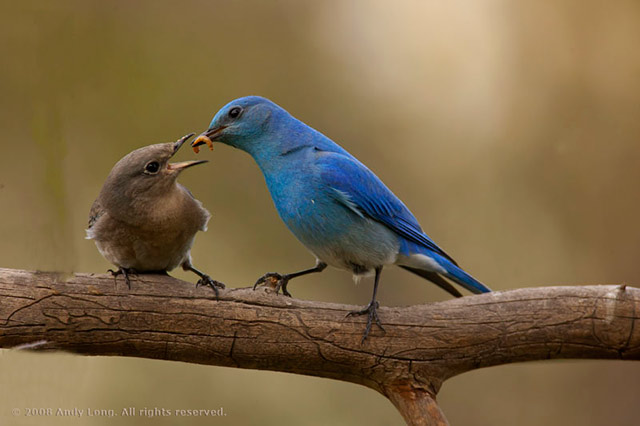 Photo of a bluebird feeding her chick a worm by Andy Long.