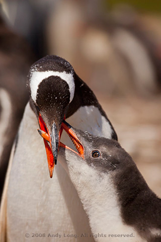Close-up photo of a Gentoo Penguin feeding its young by Andy Long.