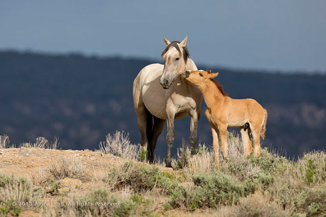Image of a wild horse colt nuzzling its mother at Sand Wash Basin in Colorado by Andy Long.