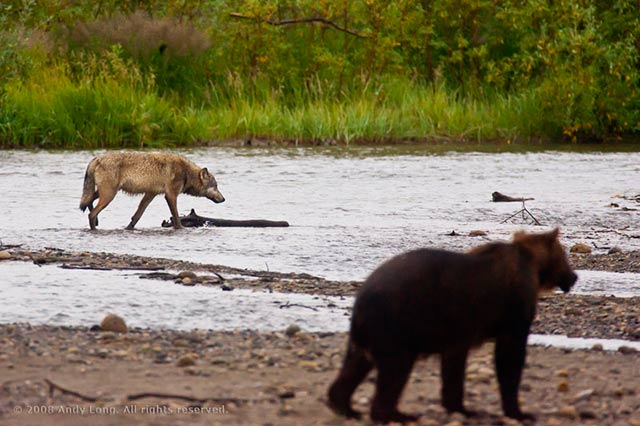 Image of a wolf and Alaska Brown Bear along a river in Alaska by Andy Long.