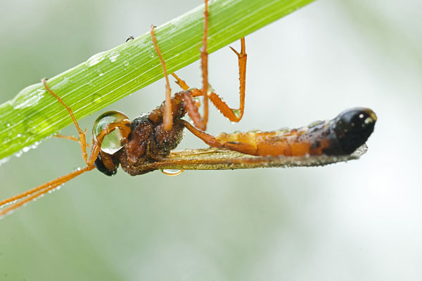 Photo of Opion Impressus--Wasp on plant stem by Edwin Brosens