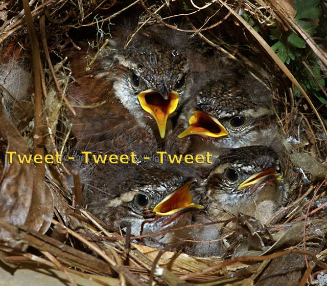 Four baby Carolina Wrens are in their nest tweeting for food by Marla Meier.