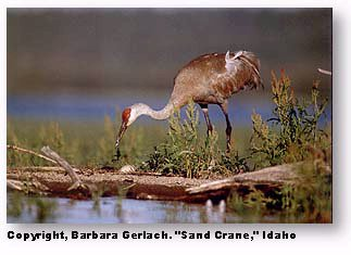 Camera grid lines: image of Sandhill Crane using grid lines to create a good composition and level horizon by John Gerlach.