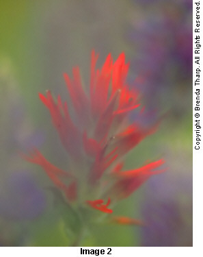 Photo expressions: Indian Paintbrush flower photographed through wild iris blooms by Brenda Tharp.